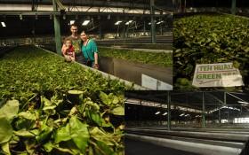 Gedung Mas Tea Plantation1
