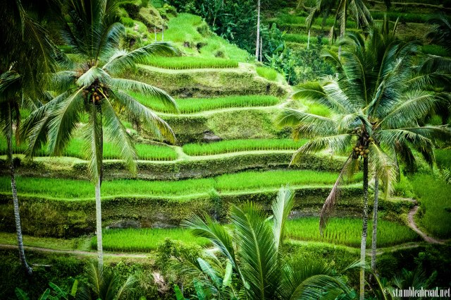 Another view of the rice paddies