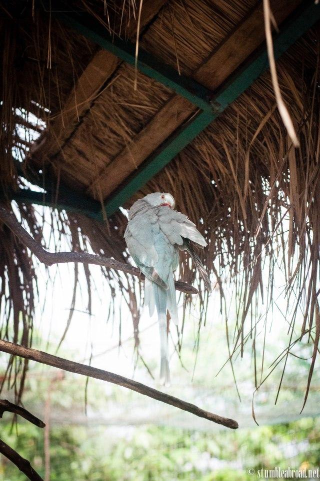 Sky blue parakeet