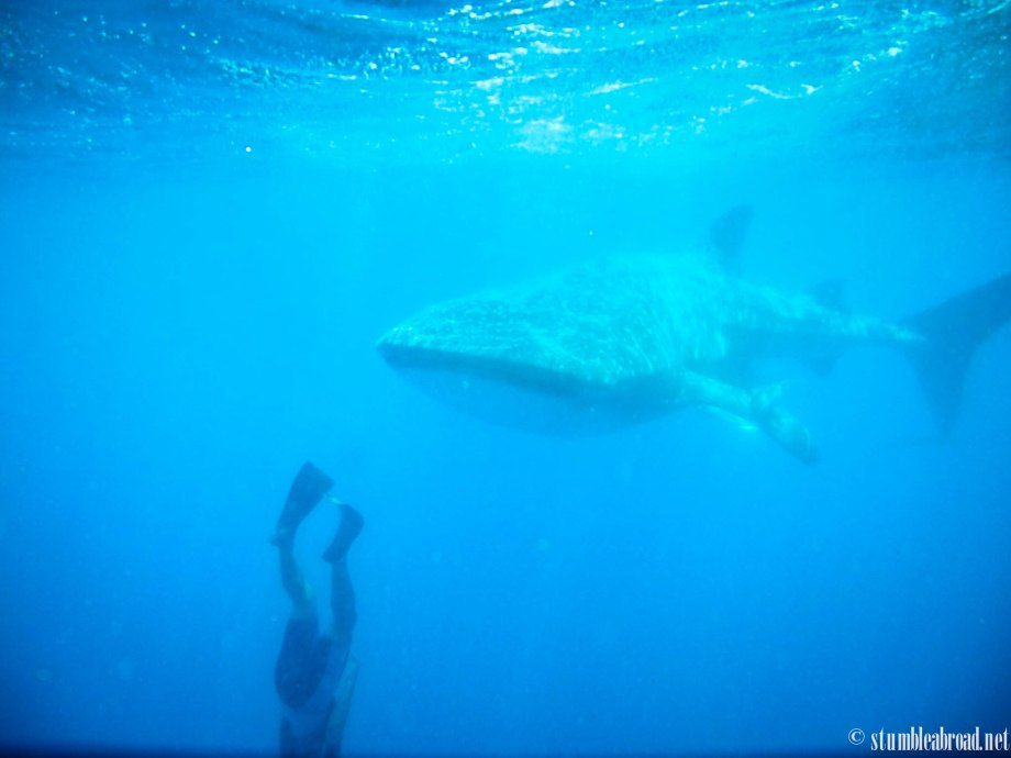{Mexico} Snorkeling with the Magnificent Whale Sharks